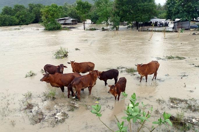 Gia súc được đưa lên những gò đất cao tạm thời tránh lũ lụt