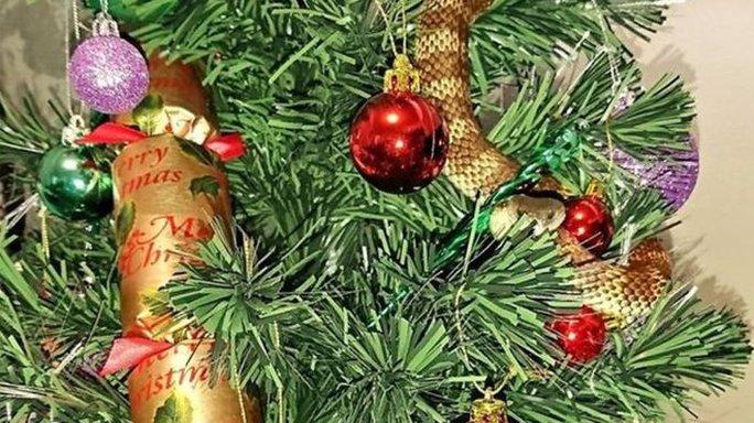 Con rắn dài 1 m ẩn mình trong lớp lá cây và các vật trang trí Giáng sinh. Ảnh: SNAKE CATCHER VICTORIA