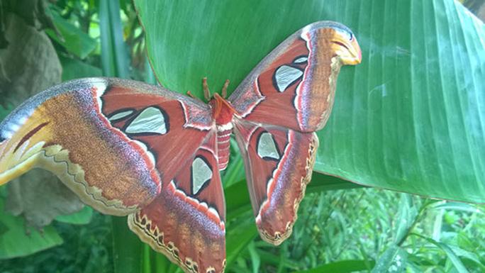 Đàn bướm khổng lồ đẹp như tranh vẽ xuất hiện ở Bạc Liêu
