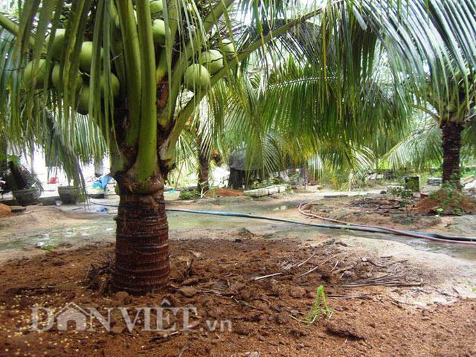 Bồn đất giúp giữ ẩm, nước và chất dinh dưỡng cho cây dừa.