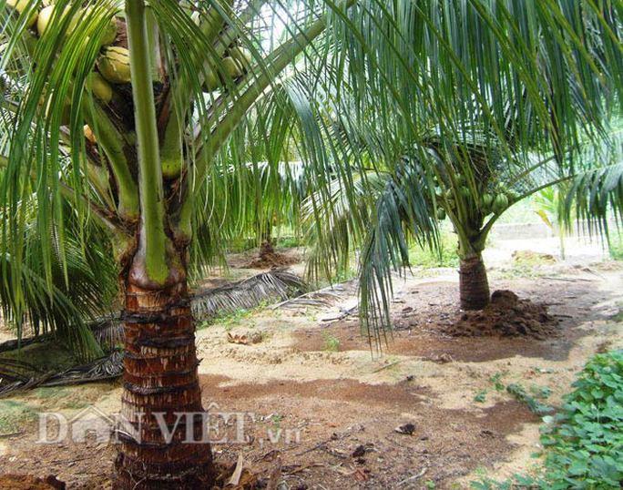 Nhiều bồn đất được làm trong vườn dừa