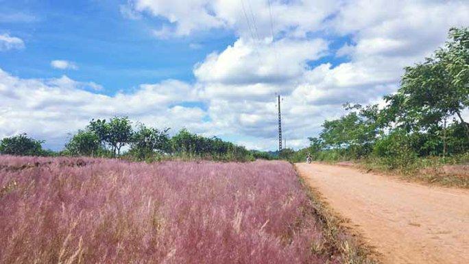Bạn sẽ ngỡ mình lạc vào chốn thiên đường khi bước chân vào đồi cỏ hồng mênh mông