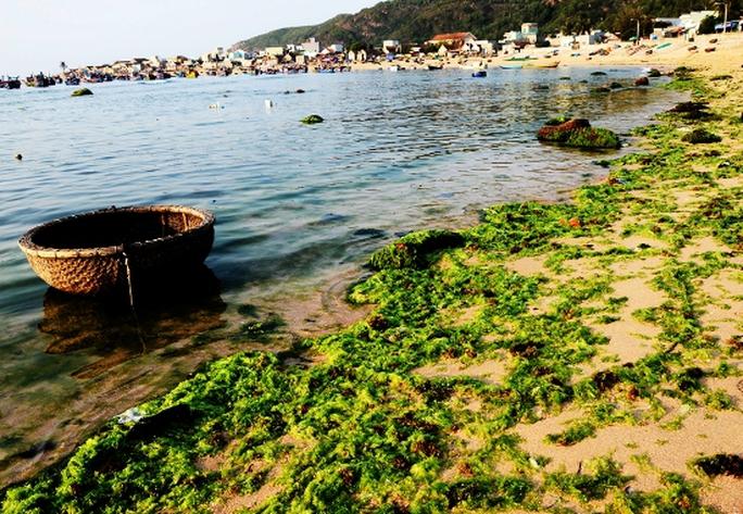 Những xác rêu đã già bị sóng đánh dạt vào bờ, dần kết thúc một mùa rêu biển Nhơn Hải.
