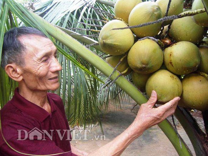 Ông Lạc tiết lộ bí kíp cho dừa sai quả.