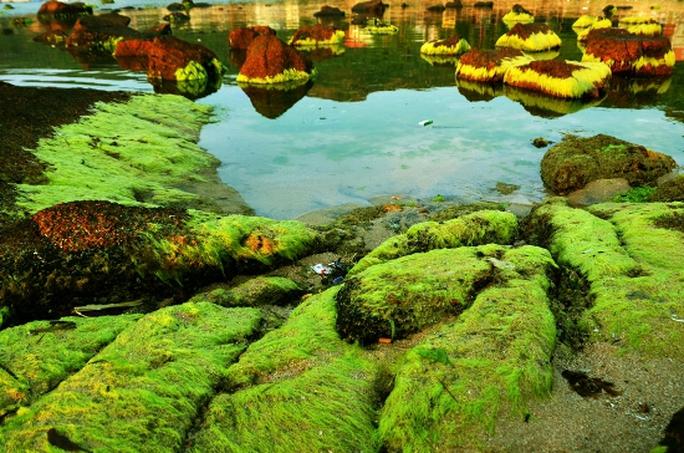 Sắc rêu biển xanh rười rượi khi thủy triều biển xuống cạn.