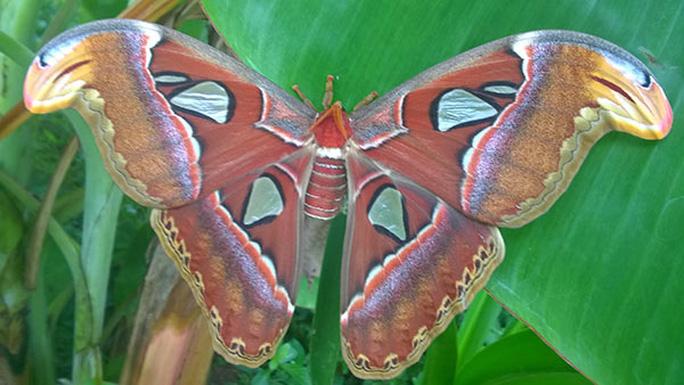Đàn bướm khủng.