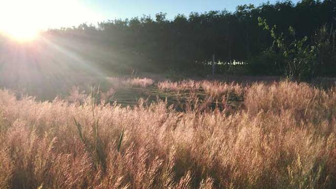 Cánh đồng cỏ đẹp như mây hồng trong nắng làm mê mẩn biết bao du khách.  (Ảnh: Aloha Nguyen)