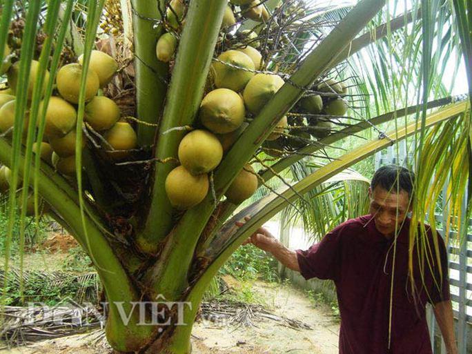 Cận cảnh cây dừa sai quả.