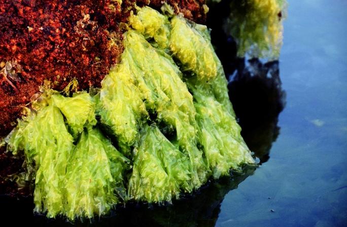 Và một mảng rêu biển khi đã già