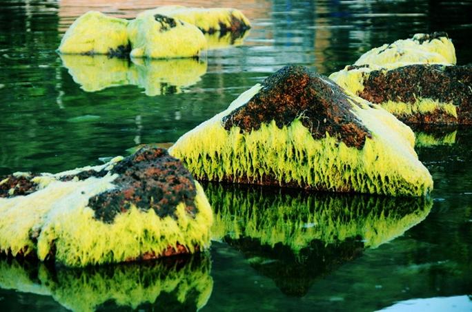 Ngỡ ngàng trước vẻ đẹp mùa rêu biển Nhơn Hải