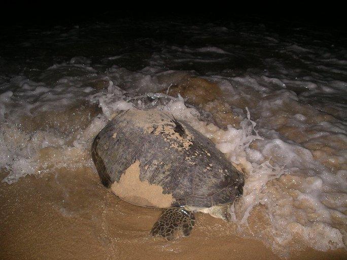 ... Nên con rùa quyết định nín đẻ, trở lại biển