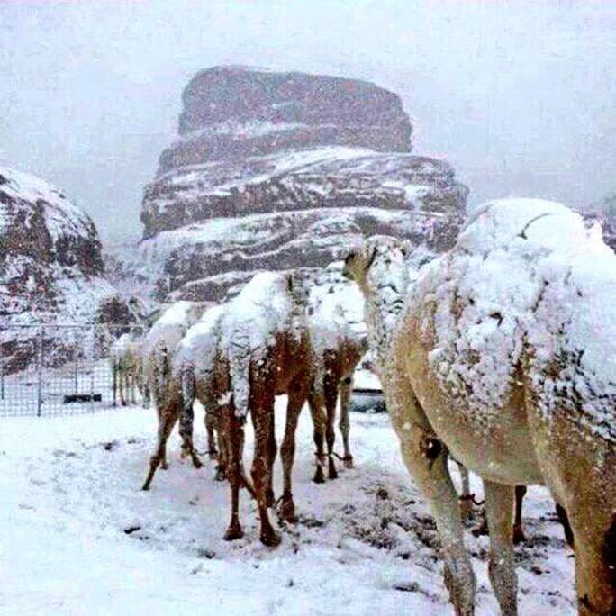 Tuyết phủ trên lưng lạc đà. Ảnh: Samaa