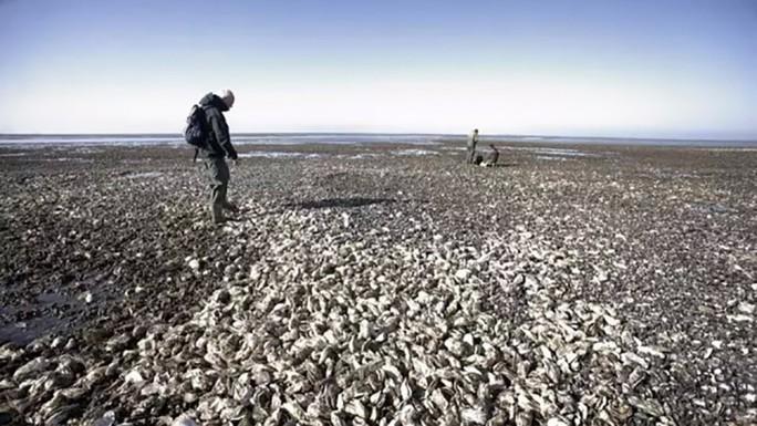 Hàu đang chiếm lĩnh các bờ biển Đan Mạch. Ảnh: SCMP