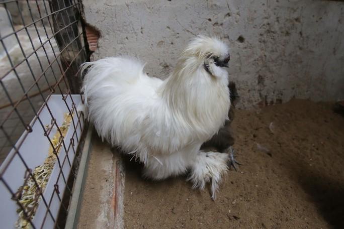 Gà lông thỏ (tên quốc tế là gà Silkie) gây chú ý khi sở hữu bộ lông xù kỳ lạ và tất cả đều là lông tơ chứ không phải lông vũ.