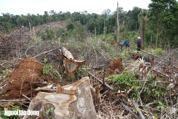 Lâm Đồng: Rừng bị triệt hạ không thương tiếc - Ảnh 9.