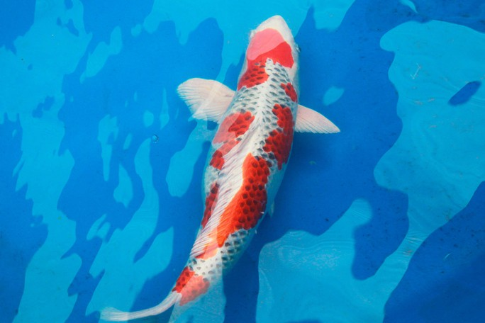 Tưng bừng hội thi cá Koi tại Thảo Cầm Viên - Ảnh 3.