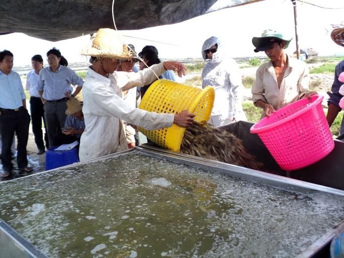Dịch bệnh, thời tiết, con giống, thị trường khiến ngành tôm gặp nhiều khó khăn Ảnh: LÊ KHÁNH