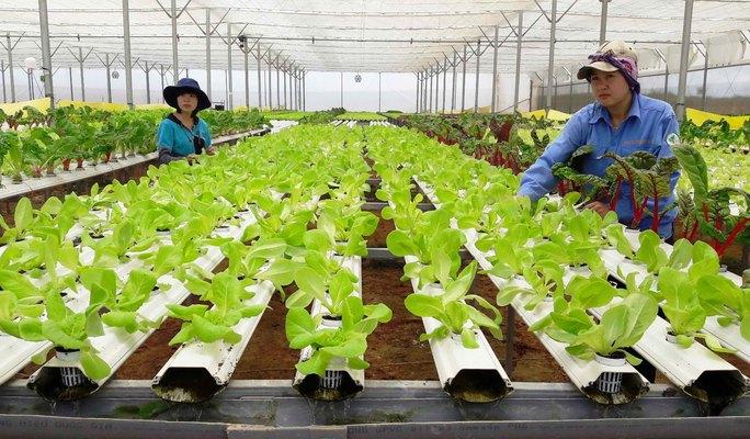Mô hình trồng rau sạch thủy canh công nghệ cao Đà Lạt Ảnh: ĐÌNH THI