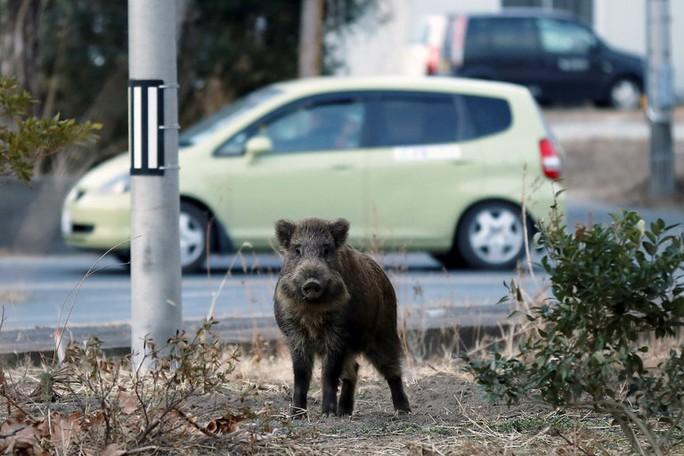 Hàng trăm con lợn rừng nhiễm phóng xạ lang thang trong các khu dân cư, phá hoại mùa màng và tấn công con người. Ảnh: New York Times
