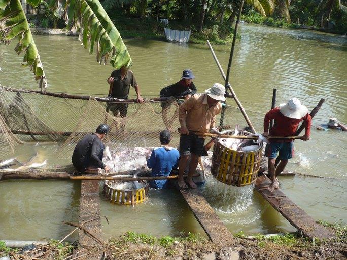 Nguồn cá tra nguyên liệu đang thiếu hụt cho xuất khẩu Ảnh: THỐT NỐT