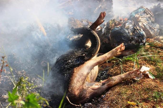 Heo chết nằm lăn lóc ven đường ở huyện Hoài Ân