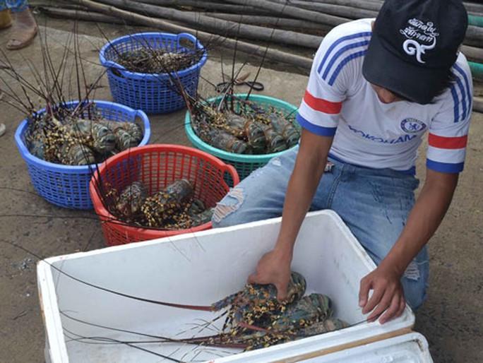 Vùng nuôi tôm hùm ô nhiễm nghiêm trọng - Ảnh 1.