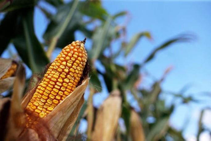 Cánh đồng ngô ở bang Indiana - Mỹ Ảnh: REUTERS