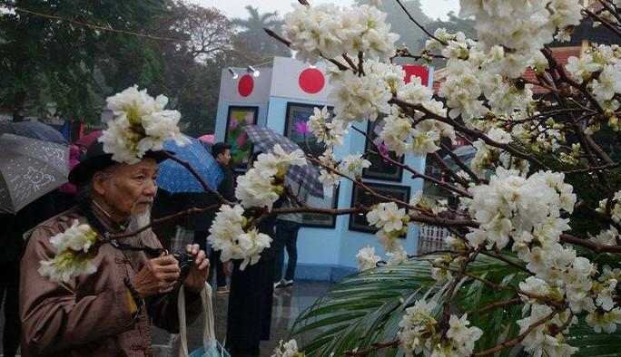 ... đến cụ già đều muốn lưu lại những hinh ảnh đẹp về loài hoa của đất nước mặt trời mọc