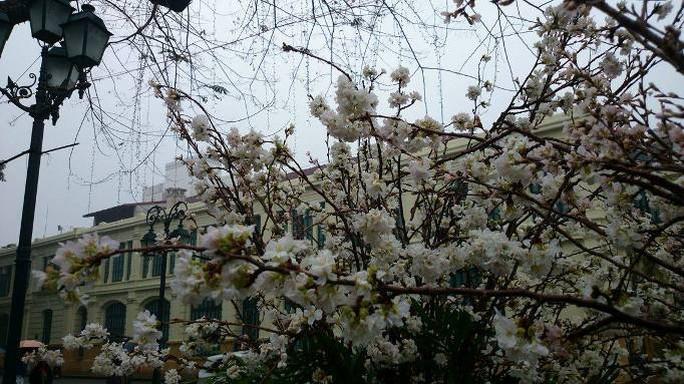 Những cánh hoa anh đào trắng tinh khôi