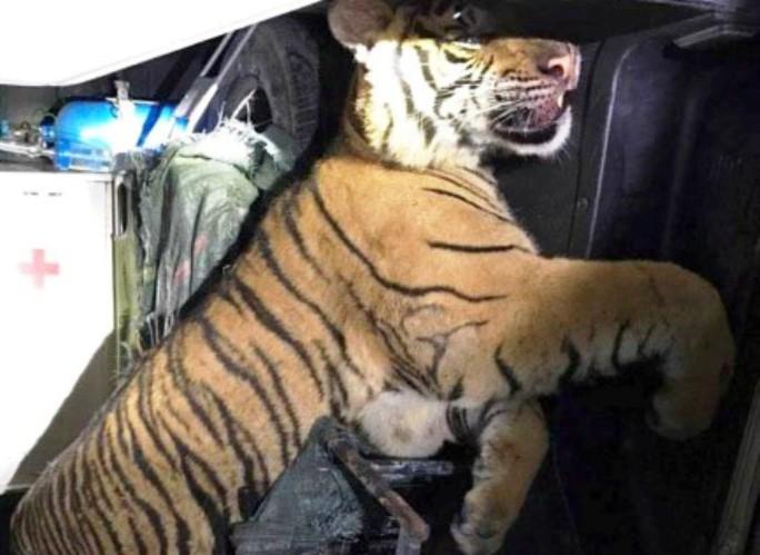 Cá thể hổ đông lạng nặng 180 kg được phát hiện trên xe cứu thương biển số Nghệ An