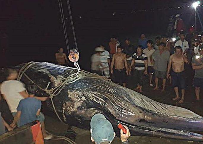 Cá voi 15 tấn trôi dạt vào vùng biển Mũi Né - Ảnh 1.