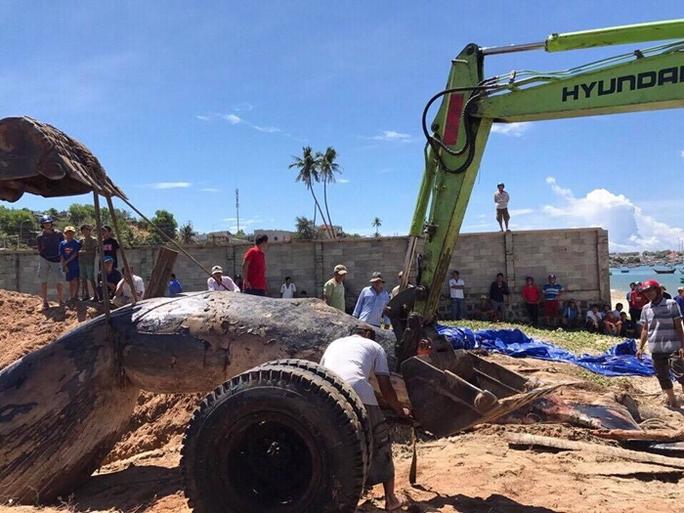 Cá voi 15 tấn trôi dạt vào vùng biển Mũi Né - Ảnh 2.