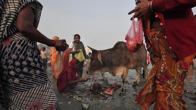 Bò được xem là con vật thánh trong đạo Hindu. Ảnh: REUTERS
