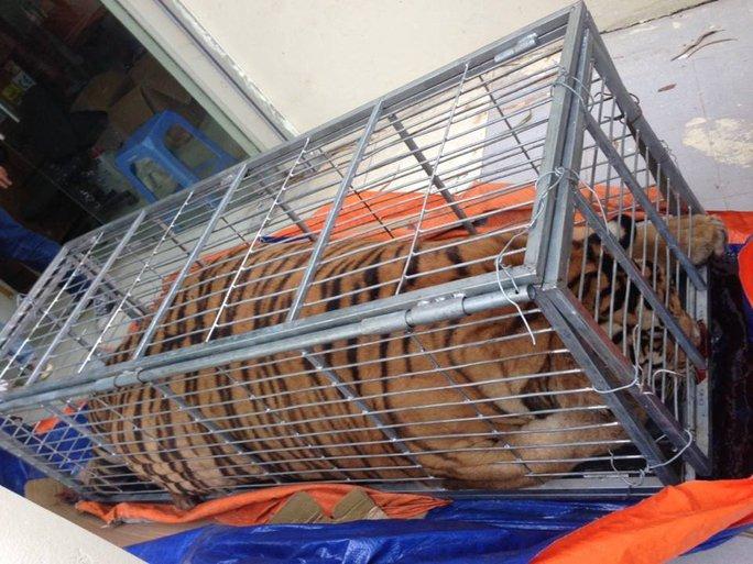 Mua hổ sống nặng 200 kg từ Nghệ An ra Hà Nội để nấu cao - Ảnh 1.