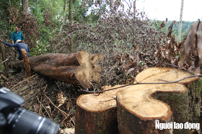 Lâm Đồng: Rừng bị triệt hạ không thương tiếc - Ảnh 1.