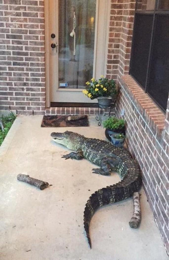 Mỹ: Cá sấu đi tránh bão Harvey - Ảnh 3.