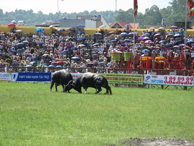 Khán giả, bảo vệ la hét, bỏ chạy trong hội chọi trâu Đồ Sơn - Ảnh 1.