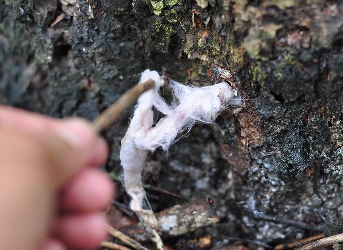 Hàng trăm cây dầu, cây sao loại lớn bị hạ độc - Ảnh 1.