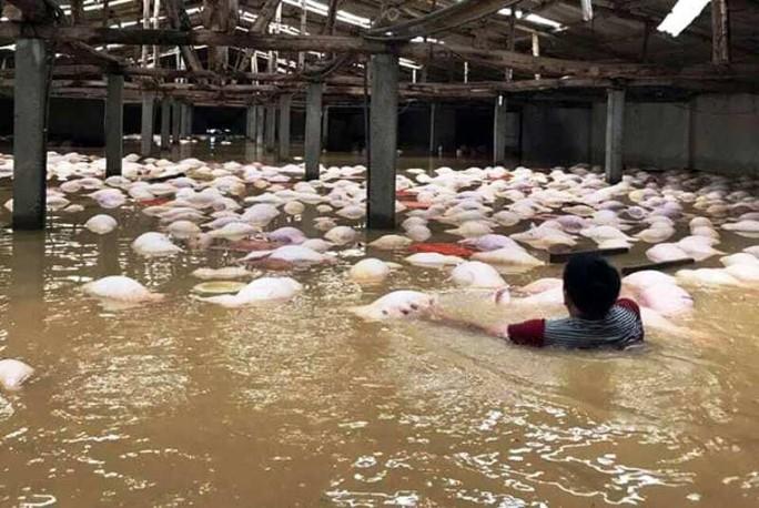 Xót xa nhìn gần 4.000 con lợn chết nổi trắng trong mưa lũ - Ảnh 1.