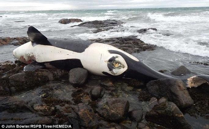 Nỗi ám ảnh đằng sau cá voi sát thủ bị nhiễm độc chưa từng thấy - Ảnh 1.