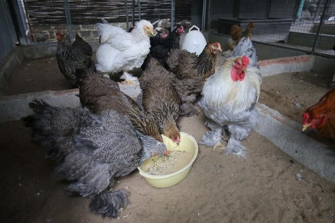 Giống gà này được bán với giá 1 triệu đồng/1 con cho con giống từ 1 - 1,5 tháng tuổi.