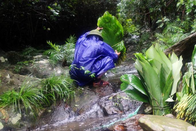 Công đoạn giữ lá rừng tại các khe suối cho xanh tươi, tránh bị héo khô và hư hỏng