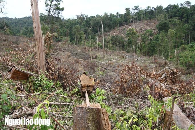 Lâm Đồng: Rừng bị triệt hạ không thương tiếc - Ảnh 8.