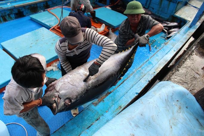 Những chú cá ngừ khổng lồ phải 3 người khiêng