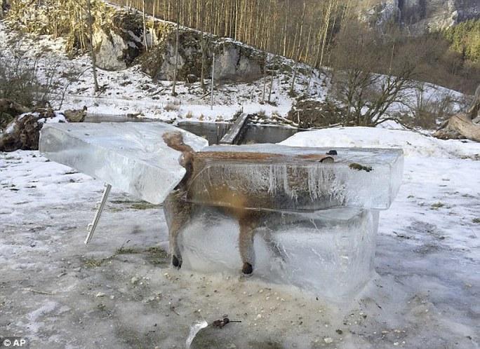 Con cáo bị đóng băng chết sau khi rơi xuống sông Danube. Ảnh: AP