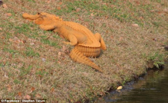 Cá sấu màu cam khiến cư dân mạng thích thú. Ảnh: Facebook