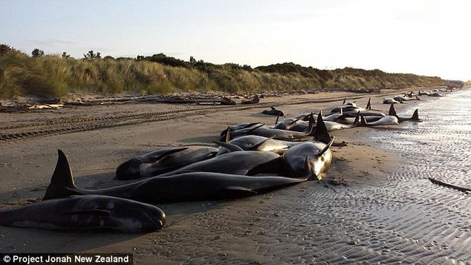 Trong số 416 cá voi hoa tiêu mắc cạn trên bờ biển Farewell Spit, hơn 300 con đã chết. Ảnh: Project Jonah