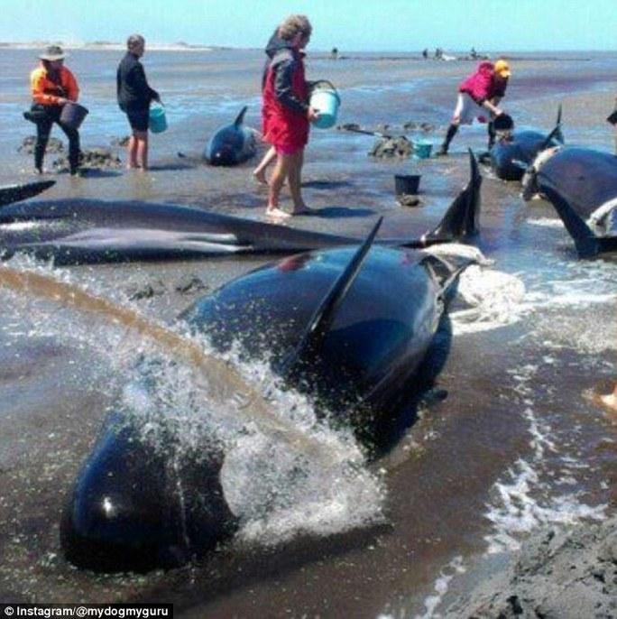Lực lượng cứu hộ chỉ có thế cứu sống được khoảng 100 con cá voi. Ảnh: Instagram