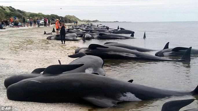 Đây được xem là vụ cá voi hoa tiêu mắc cạn lớn nhất ở New Zealand thời gian gần đây. Ảnh: AP