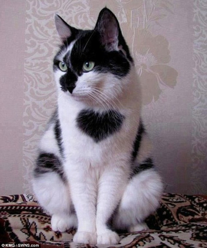Tommy Tucker, chú mèo với khoảng lông hình trái tim trước ngực. Ảnh: KMG